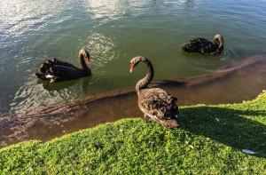 larry-portfolio-black-swans